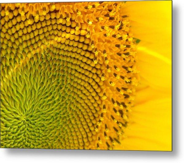 Sunflower Study 1 Metal Print