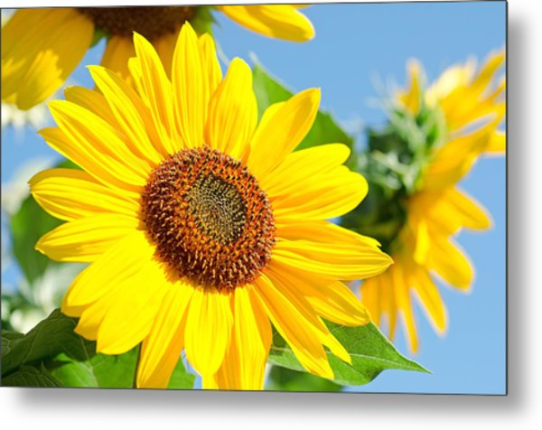 Metal Print featuring the photograph Sunflower Study IIi by Margaret Pitcher