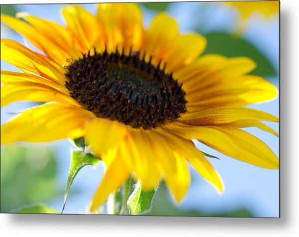 Metal Print featuring the photograph Sunflower Study V by Margaret Pitcher