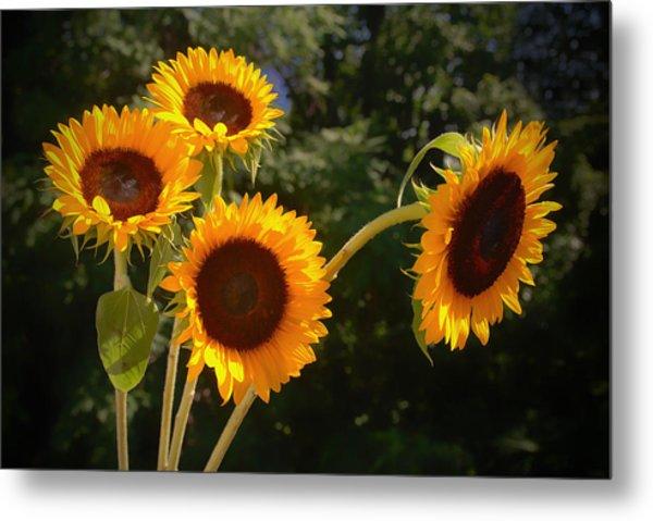 Sunflowers Metal Print by Boyd Alexander