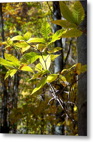 Sunlight On Leaves Metal Print