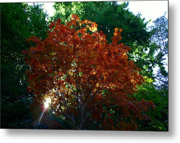 Sunlit Maple Metal Print