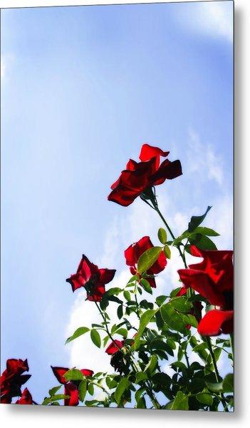 Sunlit Roses Metal Print by Alan Hausenflock