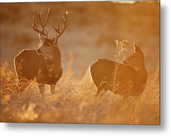 Sunrise Mule Deer Metal Print