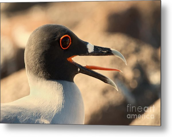 Swallow-tailed Gull Metal Print