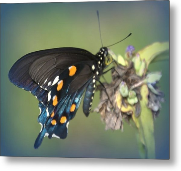 Metal Print featuring the photograph Swallowtail 1 by Judy Hall-Folde