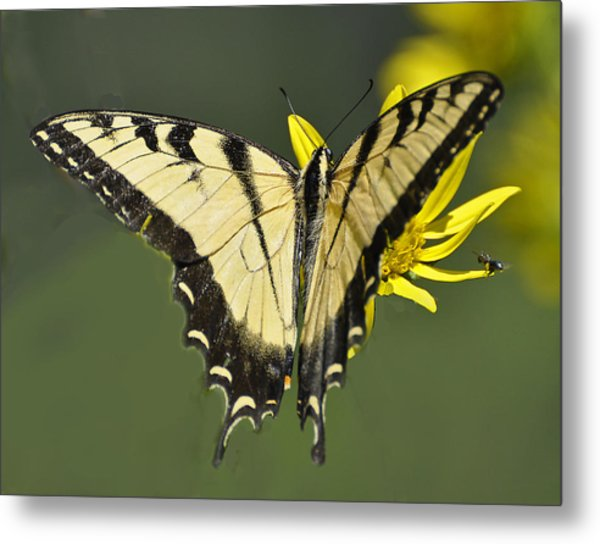Swallowtail And Friend Metal Print