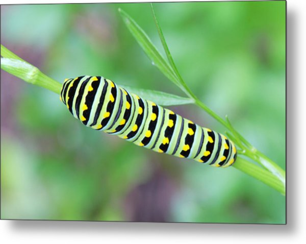 Swallowtail Caterpillar On Parsley Metal Print