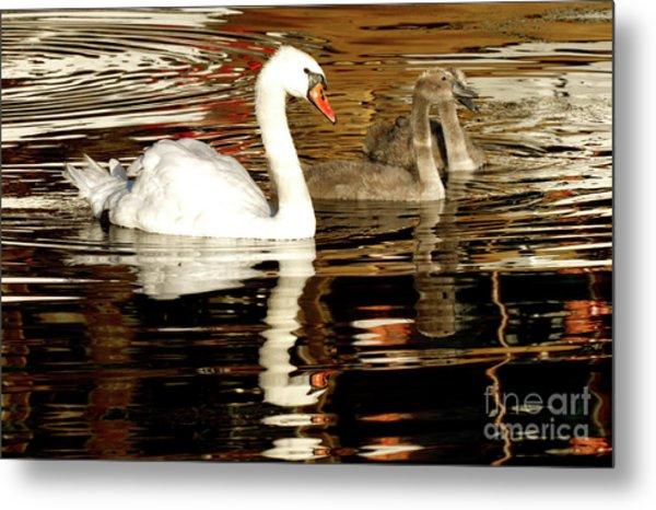 Swan Family In Evening Metal Print