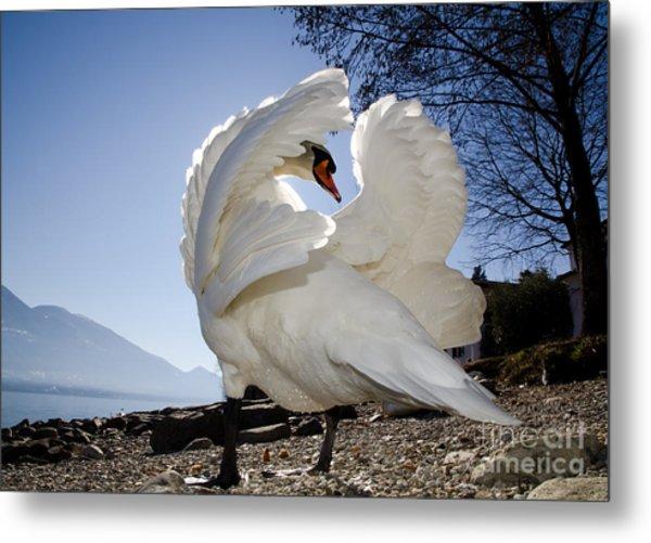 Swan In Backlight Metal Print