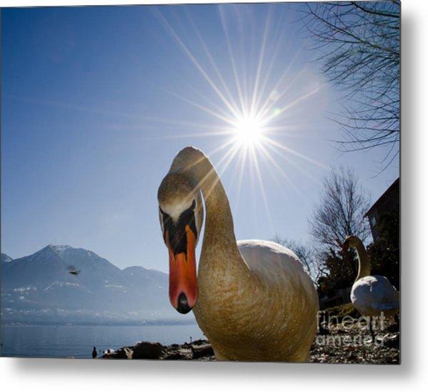 Swan Saying Hello Metal Print