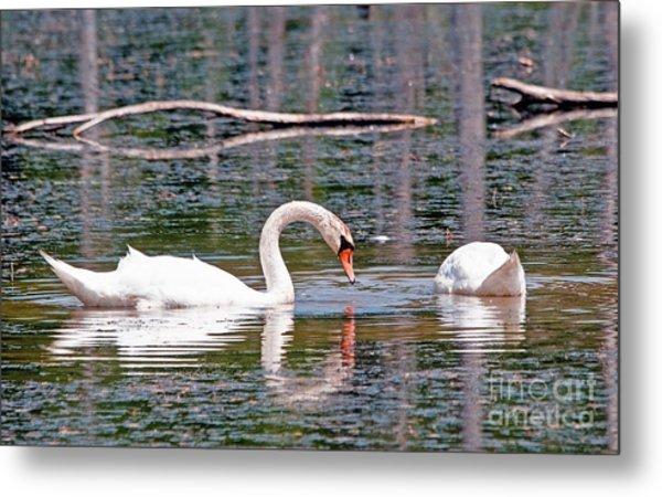 Swans At Lunch Metal Print by Bob Niederriter