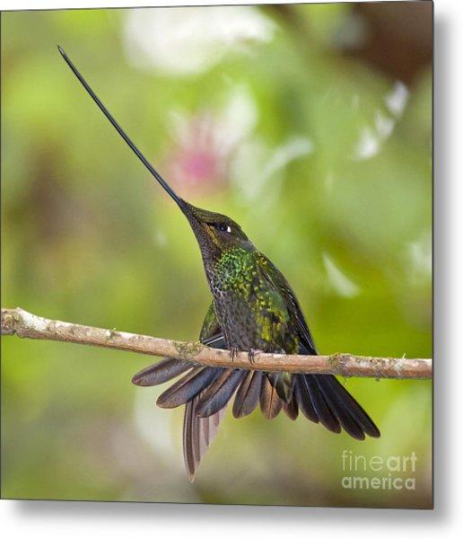 Sword-billed Hummingbird Metal Print