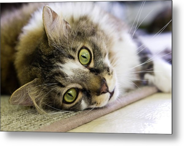 Tabby Cat Looking At Camera Metal Print