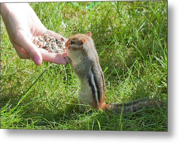 Tame Chipmunk Metal Print