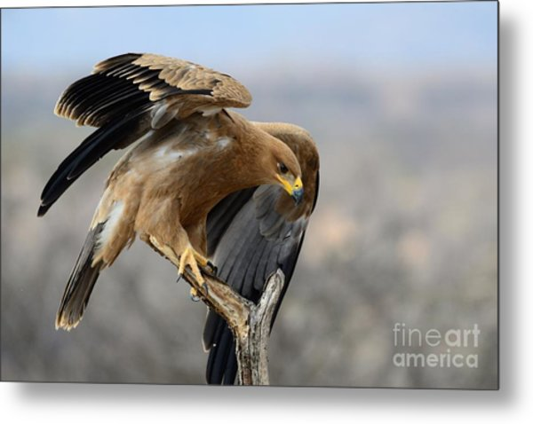 Tawny Eagle Metal Print by Alan Clifford