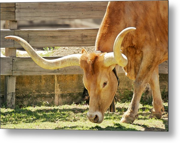 Texas Longhorns - A Genetic Gold Mine Metal Print