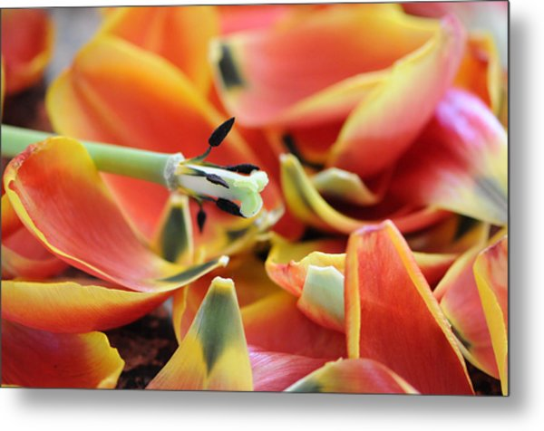 The Day The Tulip Exploded Metal Print by George Crawford