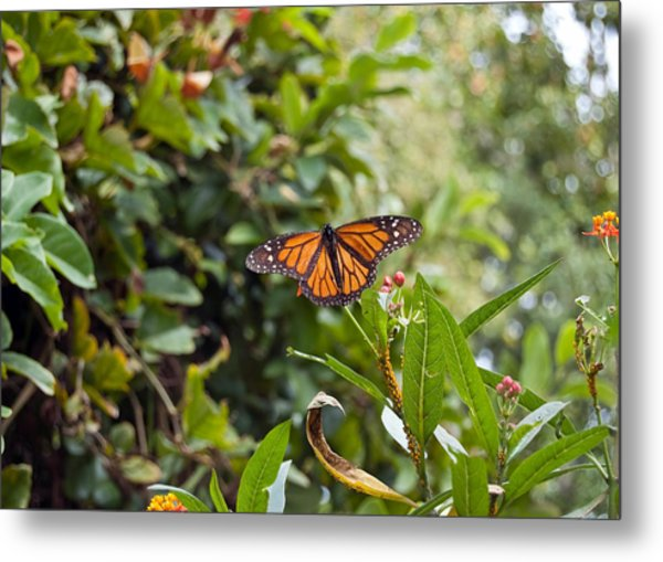 Metal Print featuring the photograph The Happy Monarch by Margaret Pitcher