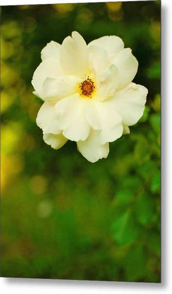The Last Rose Metal Print by Robin Morse