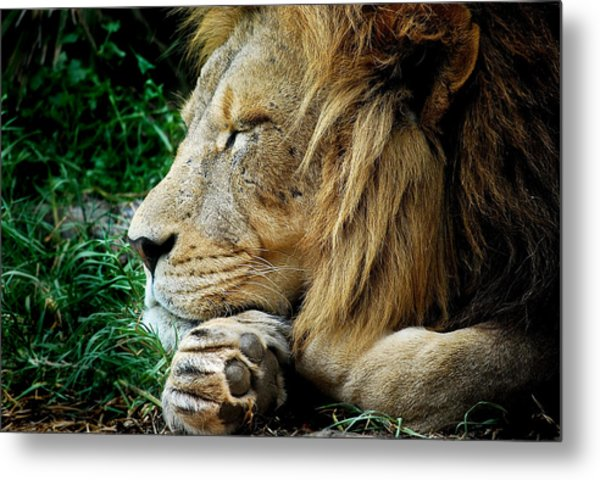 The Lions Sleeps Metal Print