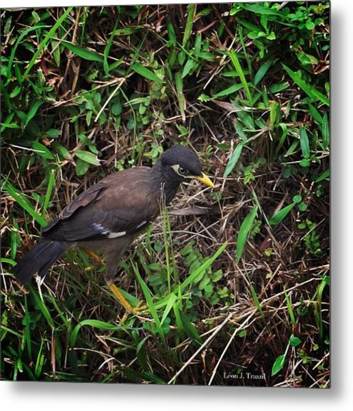 The Once Common #myna #bird In Metal Print