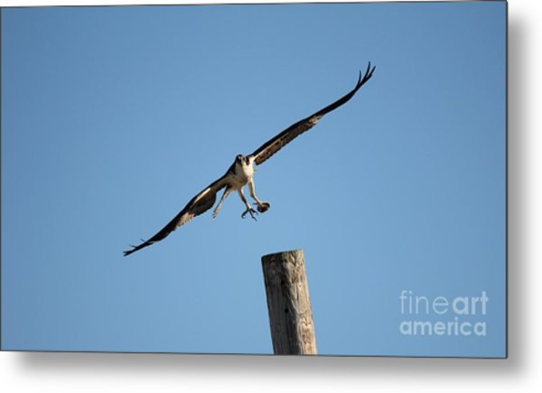 The Osprey's First Catch Collection Image I Metal Print by Scenesational Photos