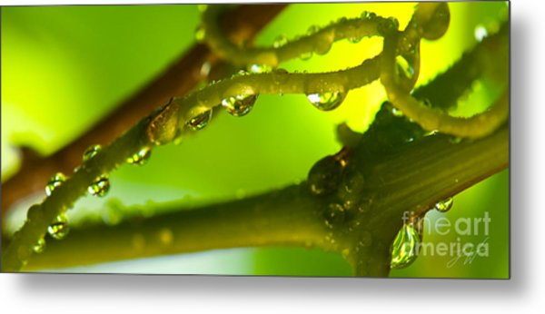 The Vineyard After The Rain Metal Print by Artist and Photographer Laura Wrede