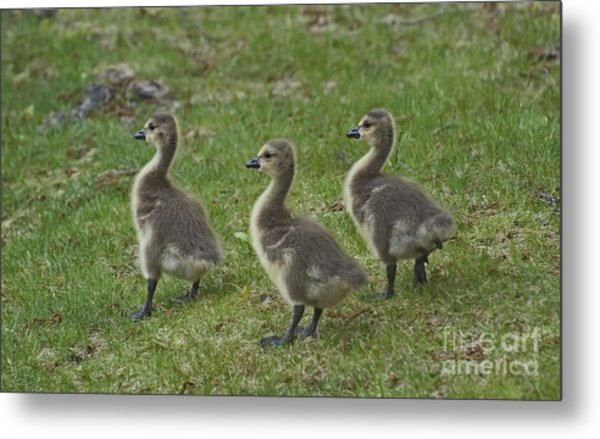 Three Baby Geese Metal Print by Ruth H Curtis