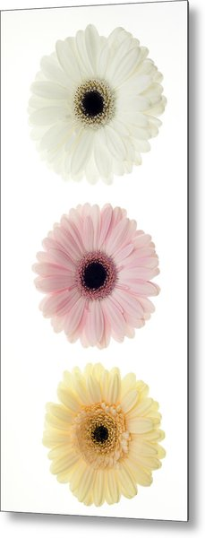 Three Gerber Daisies Metal Print by Brad Rickerby