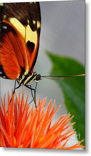 Tiger Longwing Butterfly  Metal Print