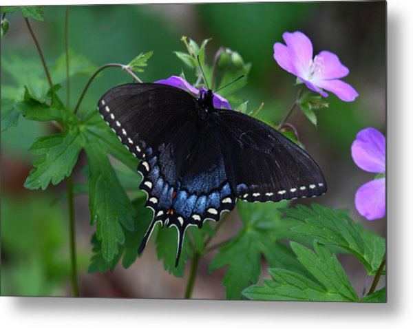 Tiger Swallowtail Female Dark Form On Wild Geranium Metal Print