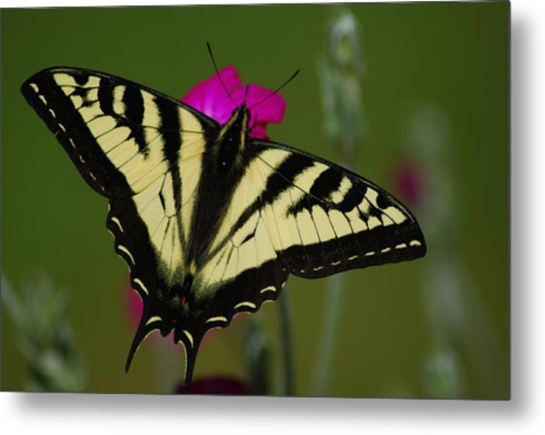 Tiger Swallowtail On Pink Metal Print