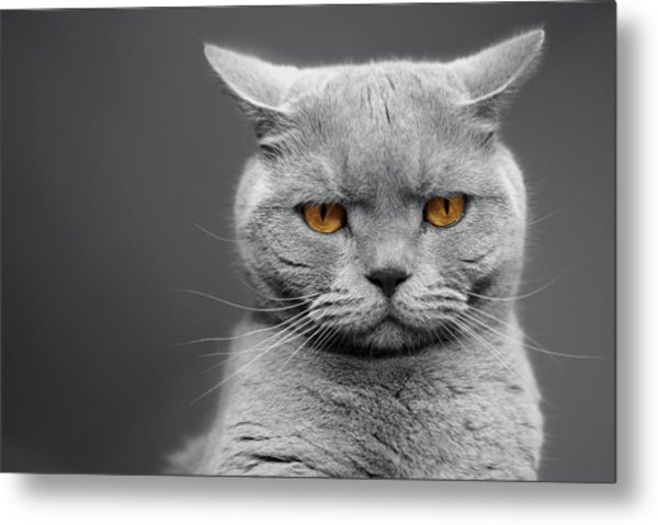 Tommy The Grumpy Metal Print