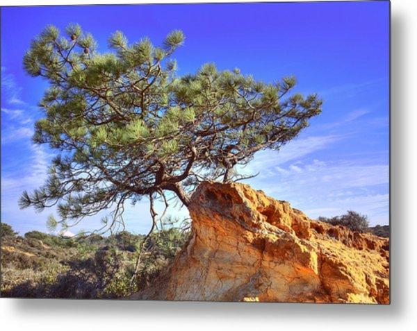 Torrey Pine Metal Print by Jeffery Reynolds