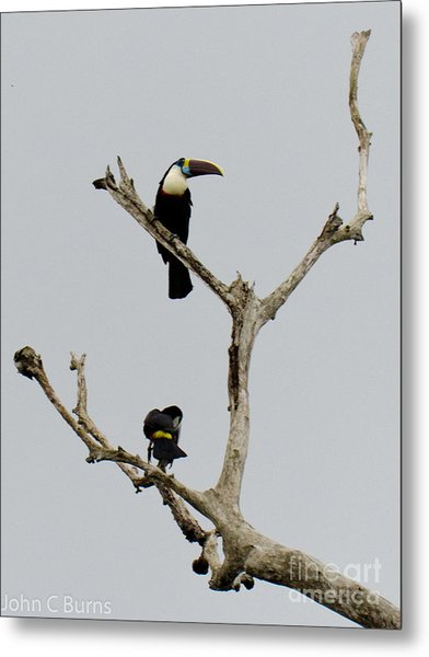 Toucans In The Trees Metal Print