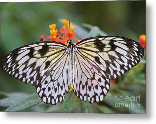 Tree Nymph Butterfly Metal Print by Jacky Parker