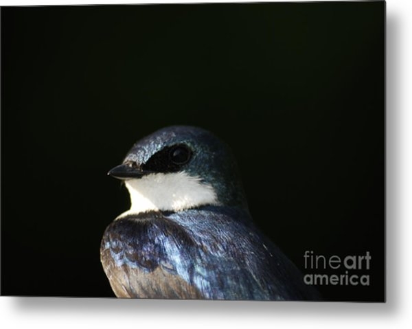 Tree Swallow 2012 Metal Print