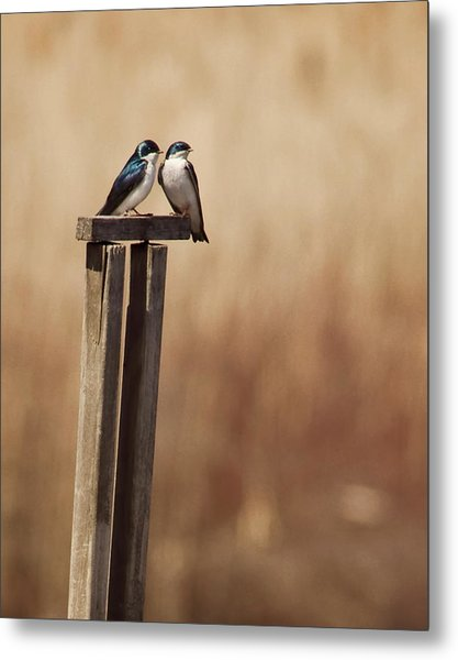 Tree Swallows On Wood Post Metal Print by Jody Trappe Photography