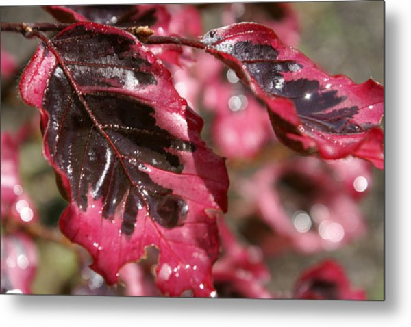Tricolor Maple Metal Print by Margaret Steinmeyer