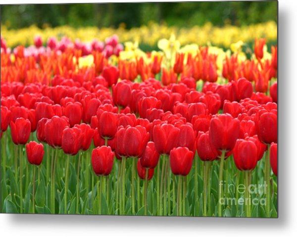 Tulip Garden Metal Print by B S Karan