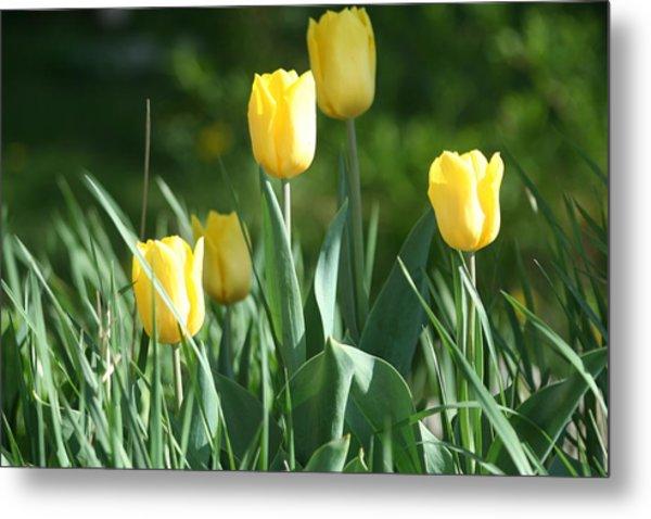 Tulip Pa Metal Print