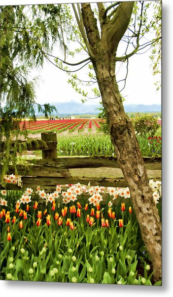 Tulip Time In The Skagit Valley Metal Print by Beverly Hanson