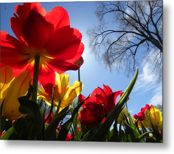 Tulips In Sunshine Metal Print