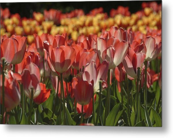 Metal Print featuring the photograph Tulips  by Ralph Jones