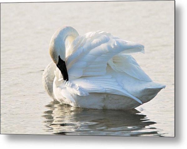 Tumpeter Swan Metal Print