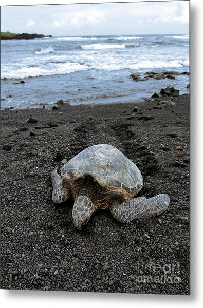 Turtle Tracks Metal Print by David Taylor