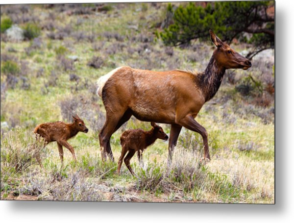 Metal Print featuring the photograph Twin Elk Calves by Shane Bechler