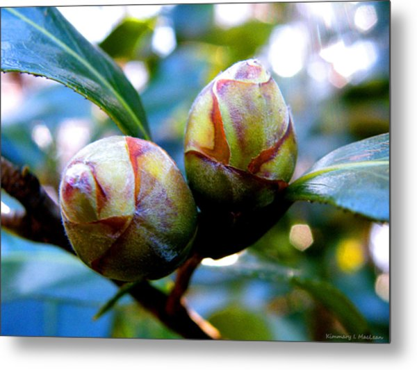 Two Young Camellia's Metal Print