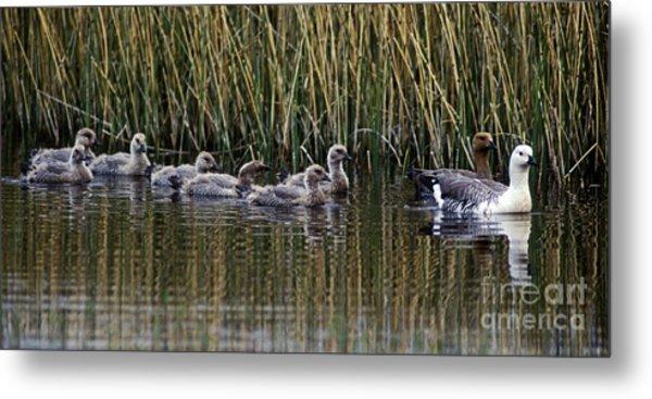 Upland Geese - Patagonia Metal Print by Craig Lovell
